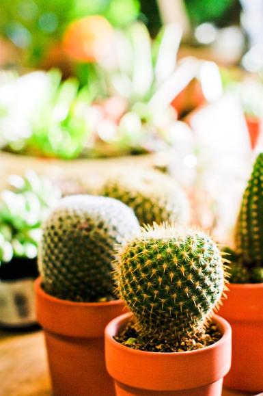Lots o' cacti